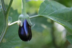 patlıcanın faydaları