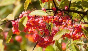 kızılcık ağacı faydaları