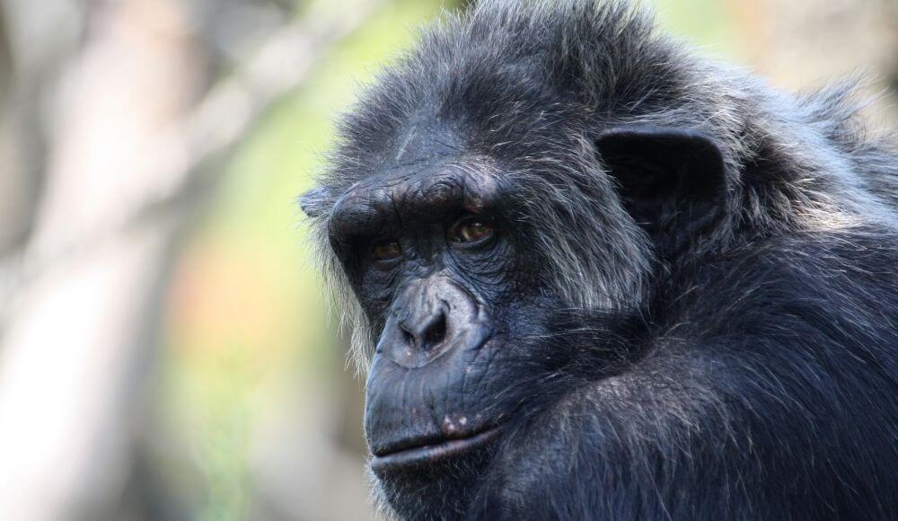 şempanzelerde yaşlılık