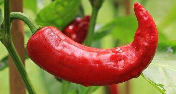 besinlerin termik etkisi: kırmızıbiber