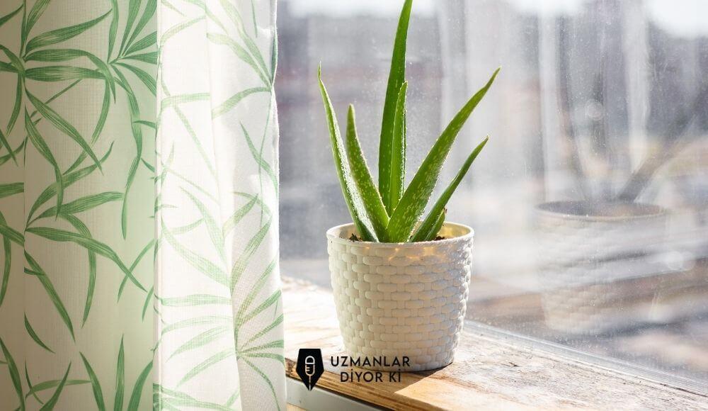 aloe vera bitkisi evde nasıl yetiştirilir