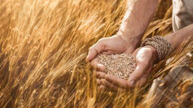 siyez buğdayı