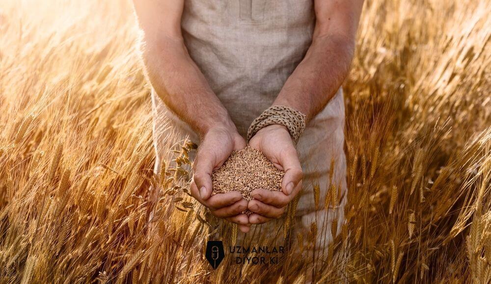 siyez buğdayı nedir