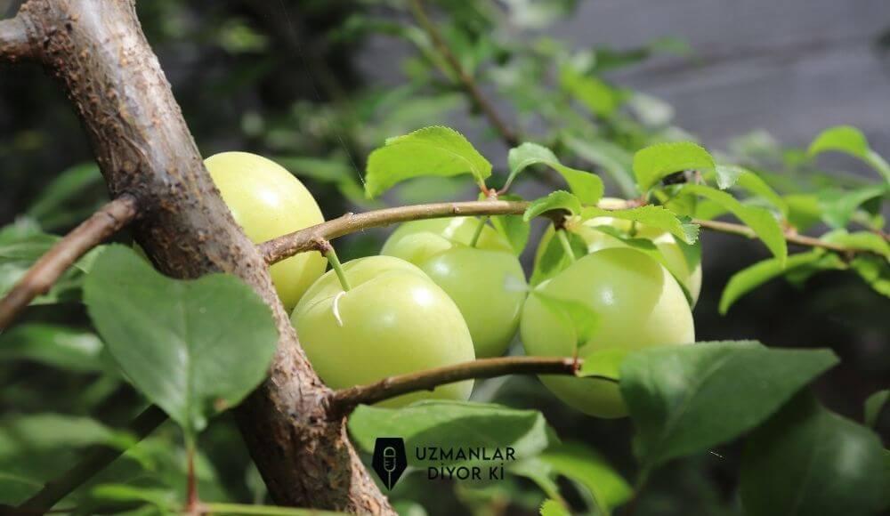 yeşil erik besin değerleri ve faydaları