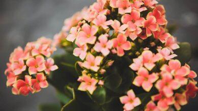 kalanşo çiçeği bakımı